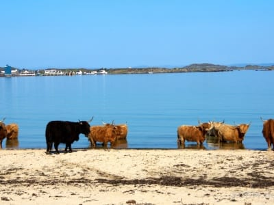 Galloways am Strand