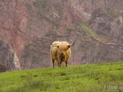 Highland Kuh auf der Oa
