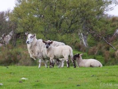 Schafe in Strandnähe