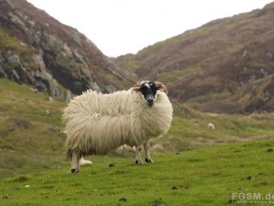Stürmisches Schaf